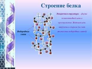 Вторичная структура– форма полипептидной цепи в пространстве. Белковая цепь