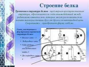 Третичная структура белков- трёхмерная пространственная структура, образующа
