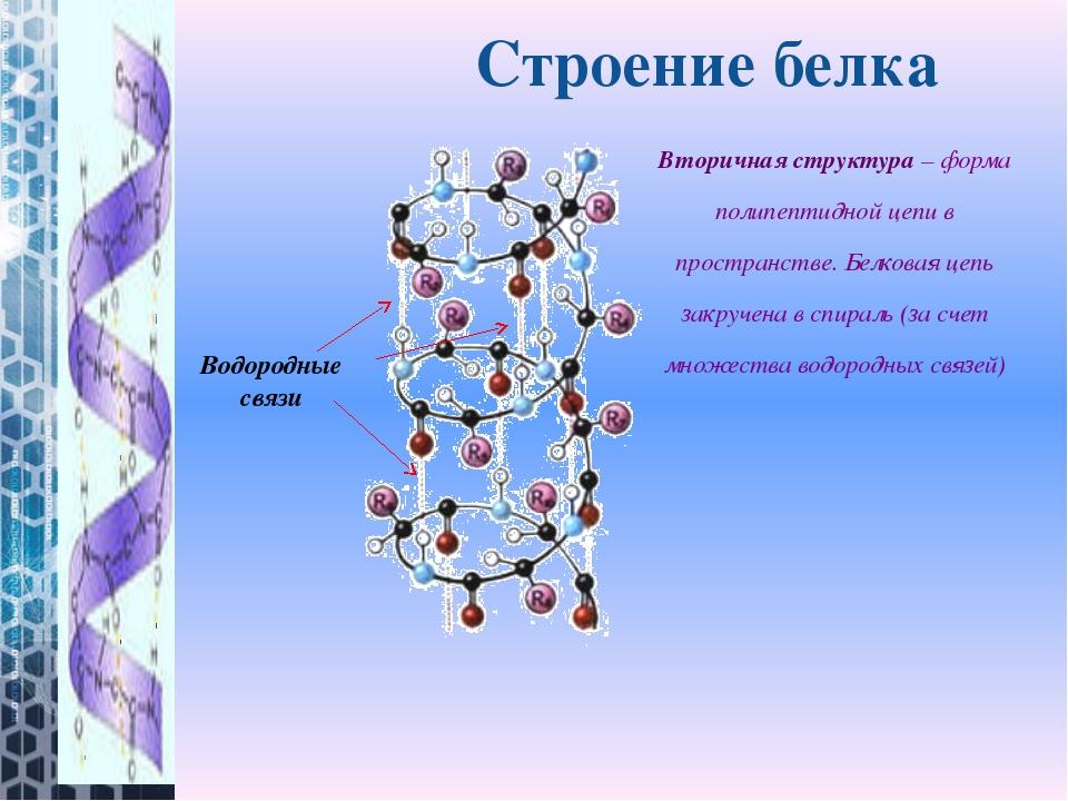 Вторичная структура– форма полипептидной цепи в пространстве. Белковая цепь...