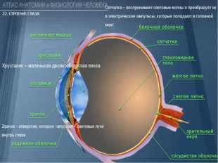 Зрачок - отверстие, которое «впускает» световые лучи внутрь глаза Хрусталик
