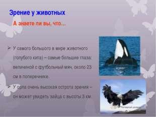 Зрение у животных У самого большого в мире животного (голубого кита) – самые
