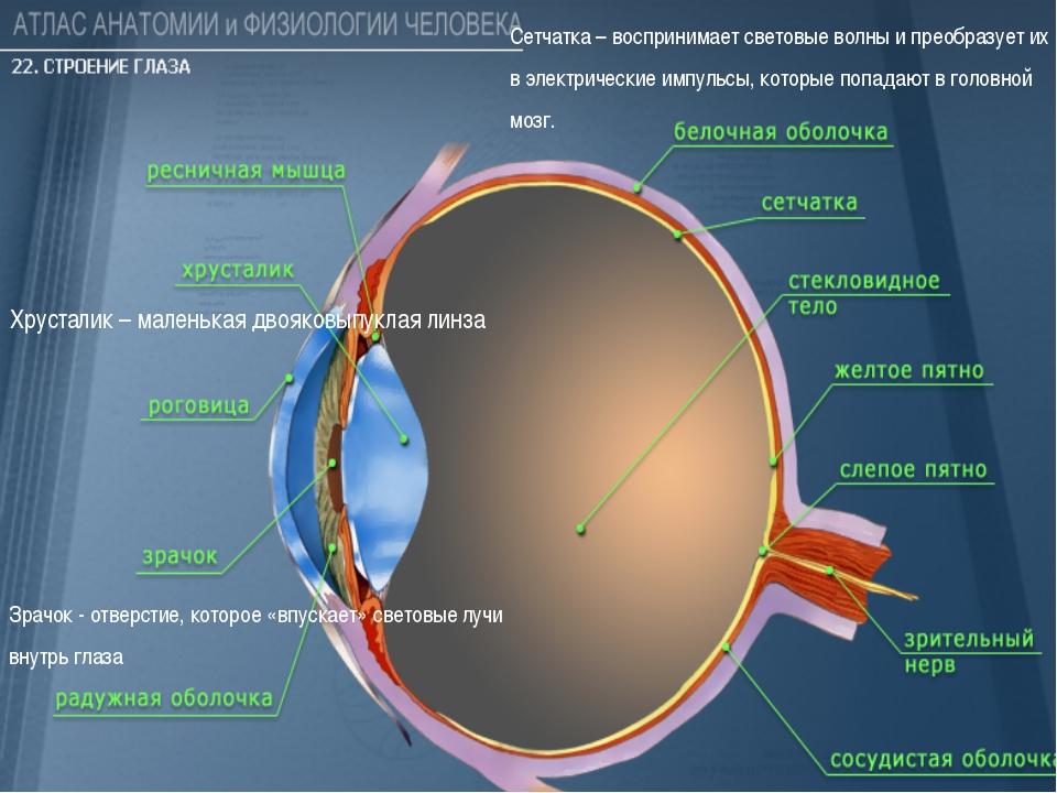 Зрачок - отверстие, которое «впускает» световые лучи внутрь глаза Хрусталик...