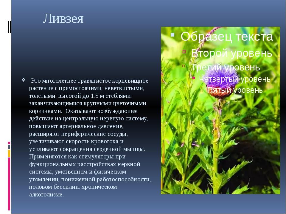 Ливзея Это многолетнее травянистое корневищное растение с прямостоячими, нев...