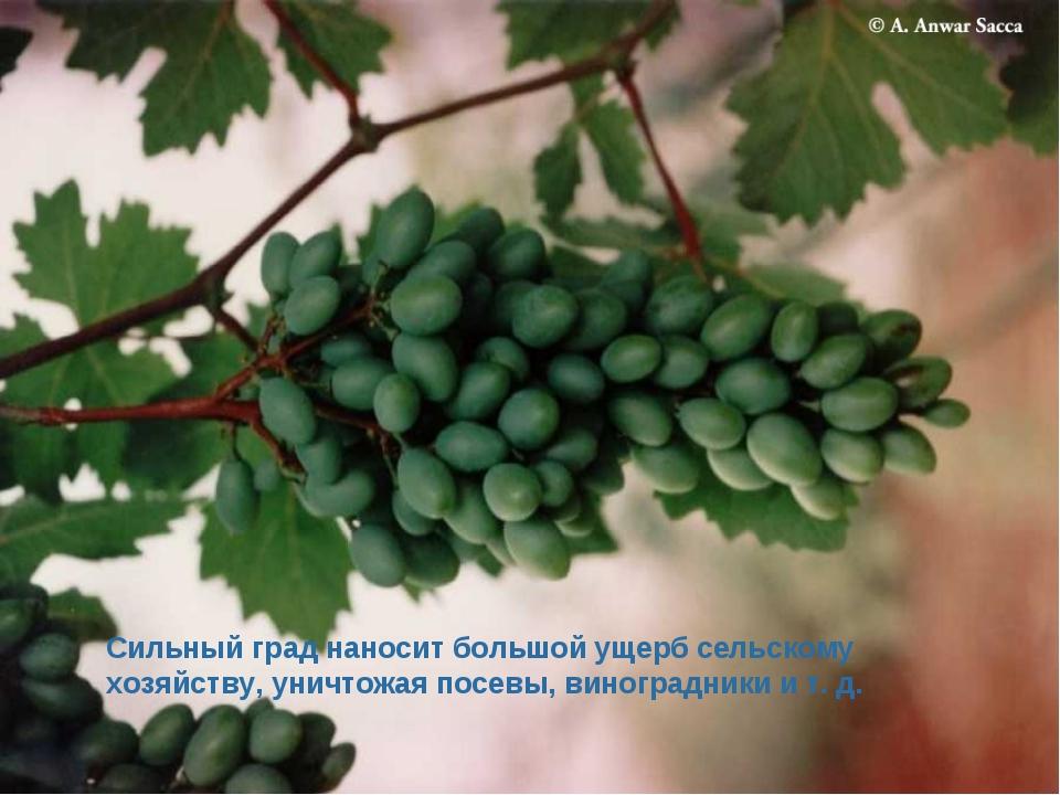 Сильный град наносит большой ущерб сельскому хозяйству, уничтожая посевы, вин...