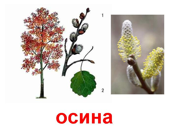 C:\Documents and Settings\Галина\Рабочий стол\загрузки\0011-011-Osina.jpg