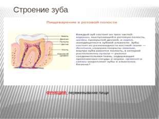 Строение зуба ФУНКЦИИ: пережевывание пищи