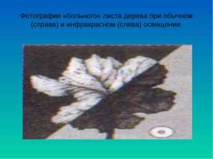 Фотография «больного» листа дерева при обычном (справа) и инфракрасном (слева