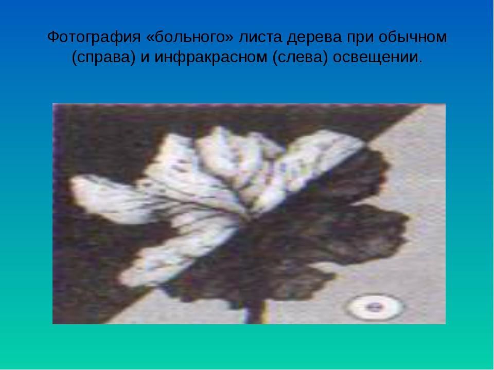 Фотография «больного» листа дерева при обычном (справа) и инфракрасном (слева...