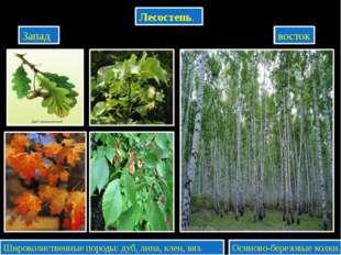 Лесостепь. Запад восток Широколиственные породы: дуб, липа, клен, вяз. Осино