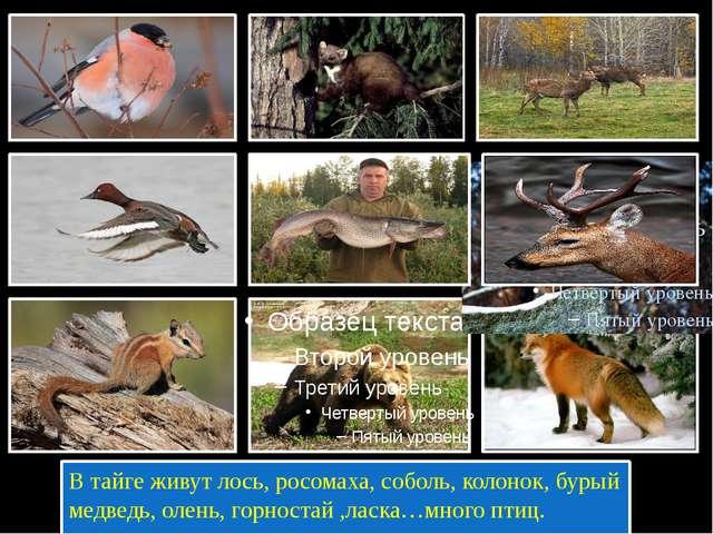 В тайге живут лось, росомаха, соболь, колонок, бурый медведь, олень, горност...