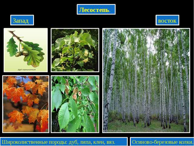 Лесостепь. Запад восток Широколиственные породы: дуб, липа, клен, вяз. Осино...