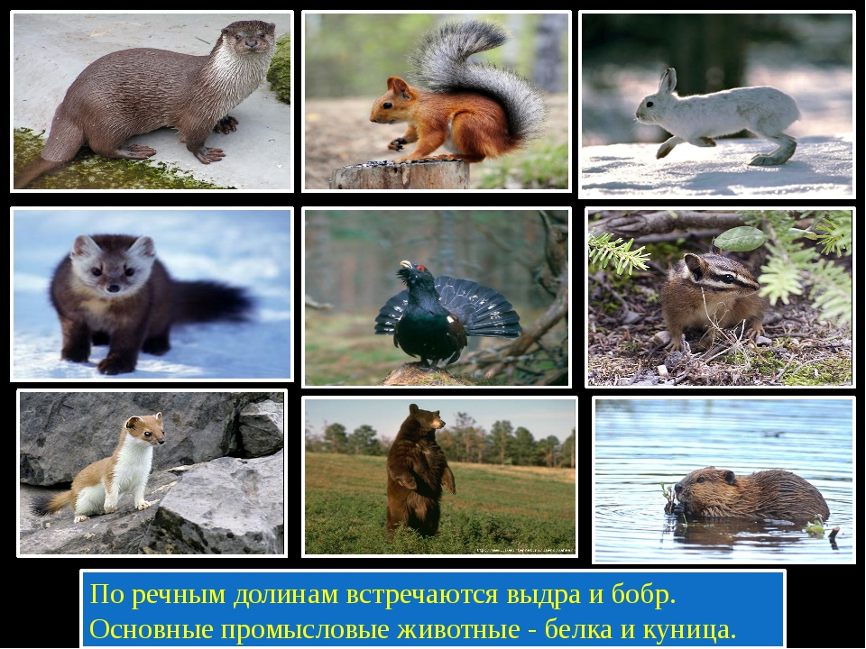 По речным долинам встречаются выдра и бобр. Основные промысловые животные -...