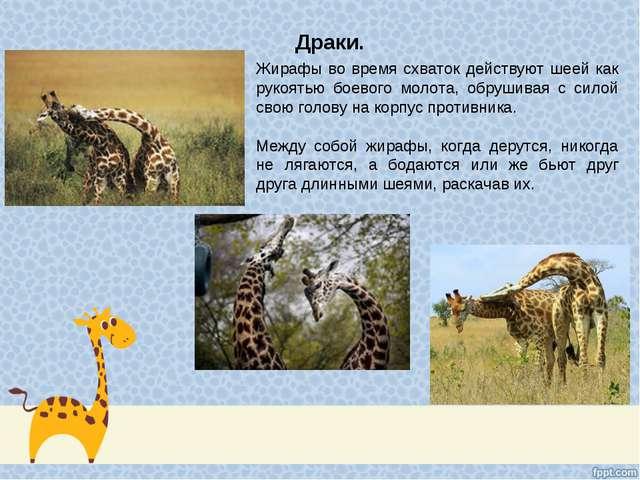 Драки. Жирафы во время схваток действуют шеей как рукоятью боевого молота, об...