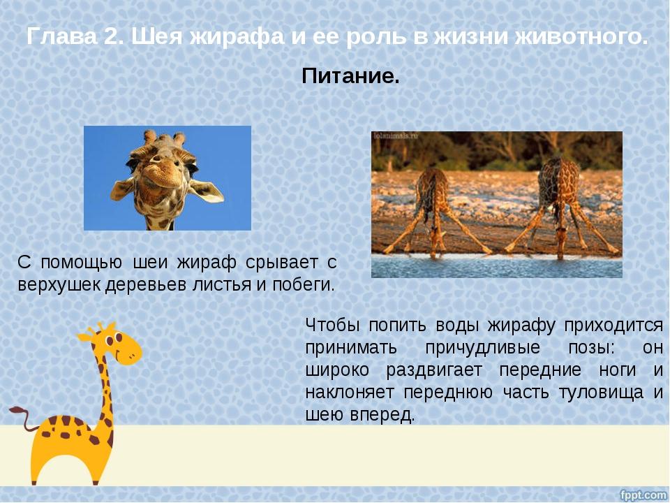 Глава 2. Шея жирафа и ее роль в жизни животного. С помощью шеи жираф срывает...