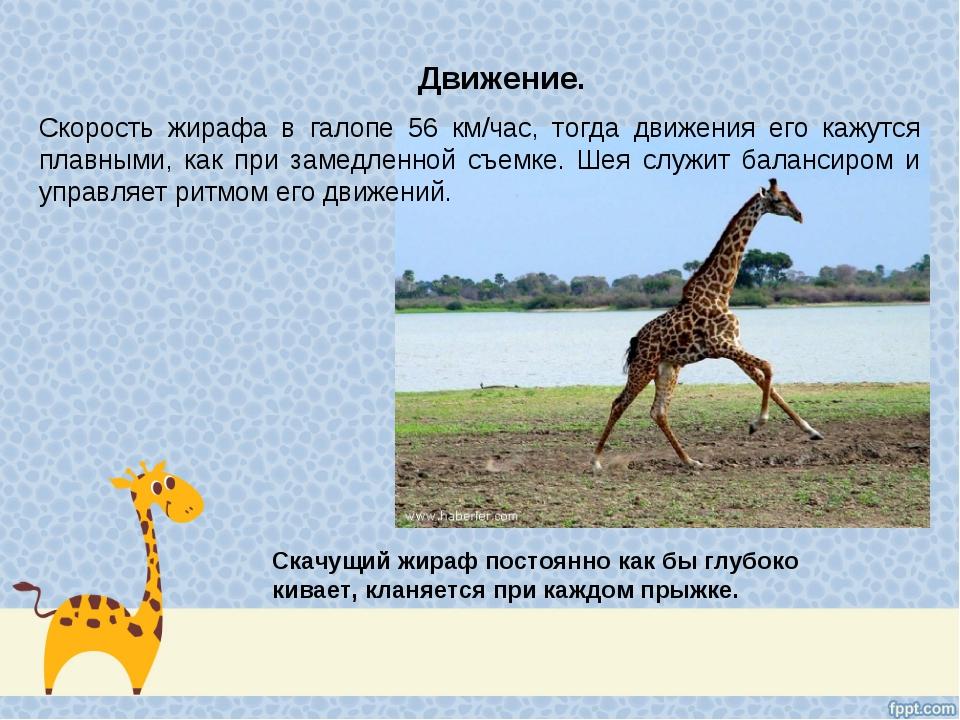 Движение. Скорость жирафа в галопе 56 км/час, тогда движения его кажутся плав...
