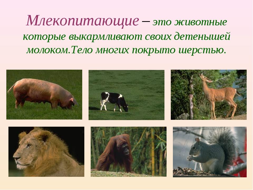 Презентация класс млекопитающие