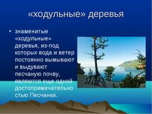 «ходульные» деревья знаменитые «ходульные» деревья, из-под которых вода и вет