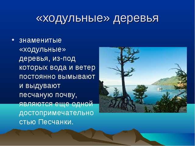 «ходульные» деревья знаменитые «ходульные» деревья, из-под которых вода и вет...