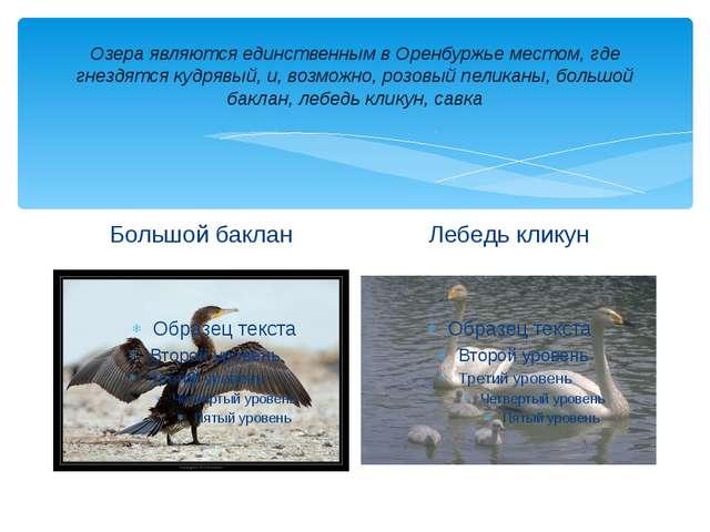 Озера являются единственным в Оренбуржье местом, где гнездятся кудрявый, и, в...