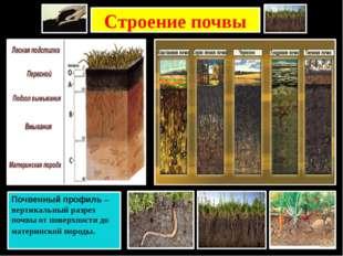 Строение почвы Почвенный профиль – вертикальный разрез почвы от поверхности д