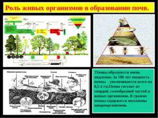 Роль живых организмов в образовании почв. Почвы образуются очень медленно. За