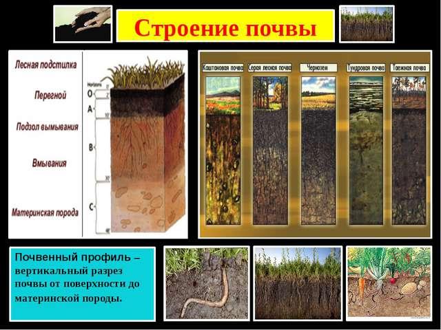 Строение почвы Почвенный профиль – вертикальный разрез почвы от поверхности д...