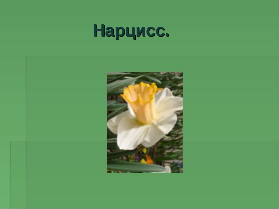 Нарцисс.