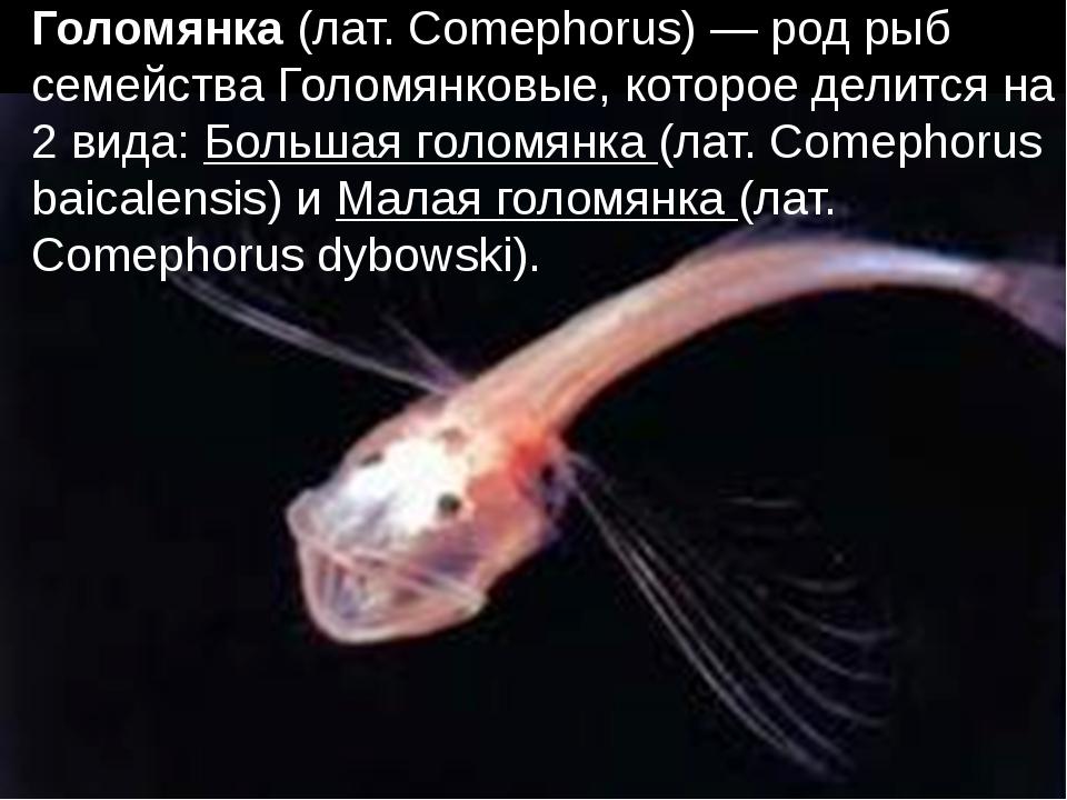 Голомянка (лат. Comephorus) — род рыб семейства Голомянковые, которое делитс...