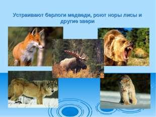 Устраивают берлоги медведи, роют норы лисы и другие звери