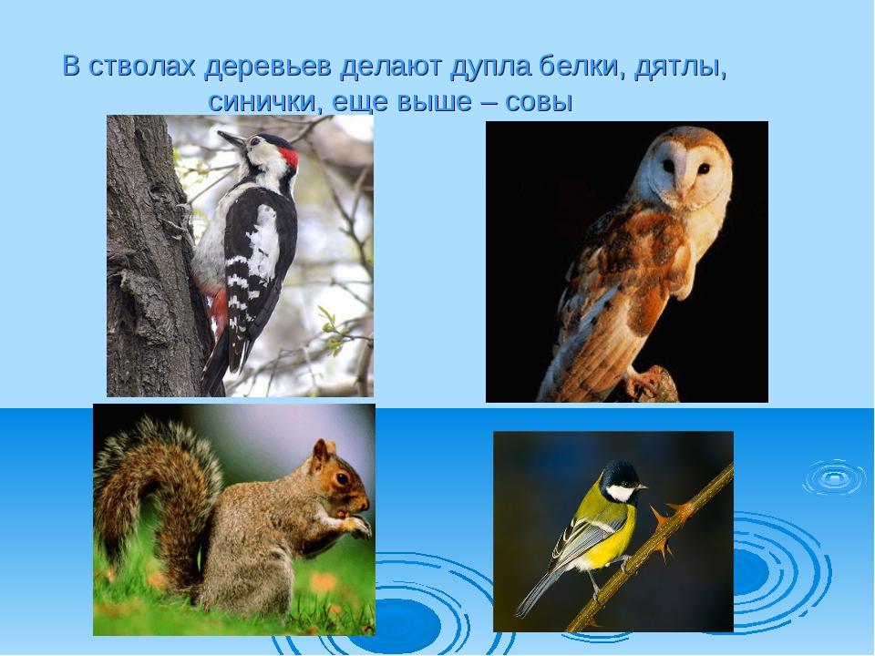 В стволах деревьев делают дупла белки, дятлы, синички, еще выше – совы