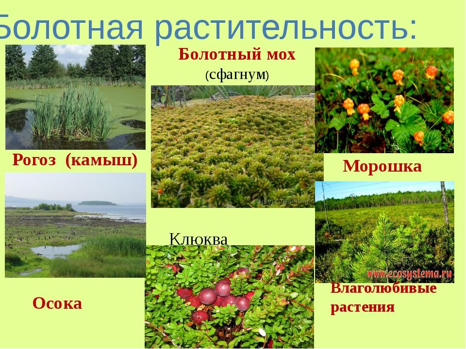 Болотная растительность: Рогоз (камыш) Осока Болотный мох (сфагнум) Морошка В...