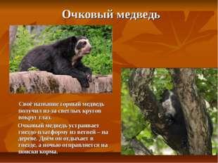 Очковый медведь Своё название горный медведь получил из-за светлых кругов во