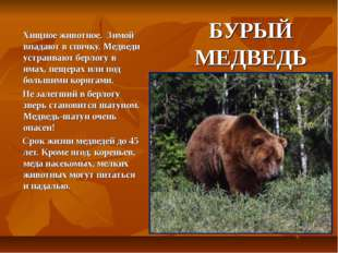 БУРЫЙ МЕДВЕДЬ Хищное животное. Зимой впадают в спячку. Медведи устраивают бер