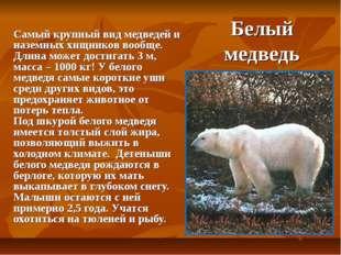 Белый медведь Самый крупный вид медведей и наземных хищников вообще. Длина мо