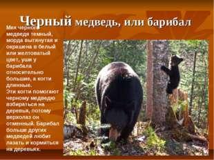 Черный медведь, или барибал Мех черного медведя темный, морда вытянутая и окр