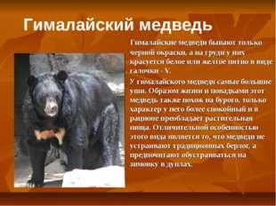 Гималайские медведи бывают только черной окраски, а на груди у них красуется