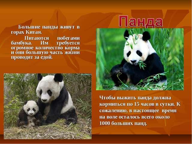 Большие панды живут в горах Китая. Питаются побегами бамбука. Им требуется...