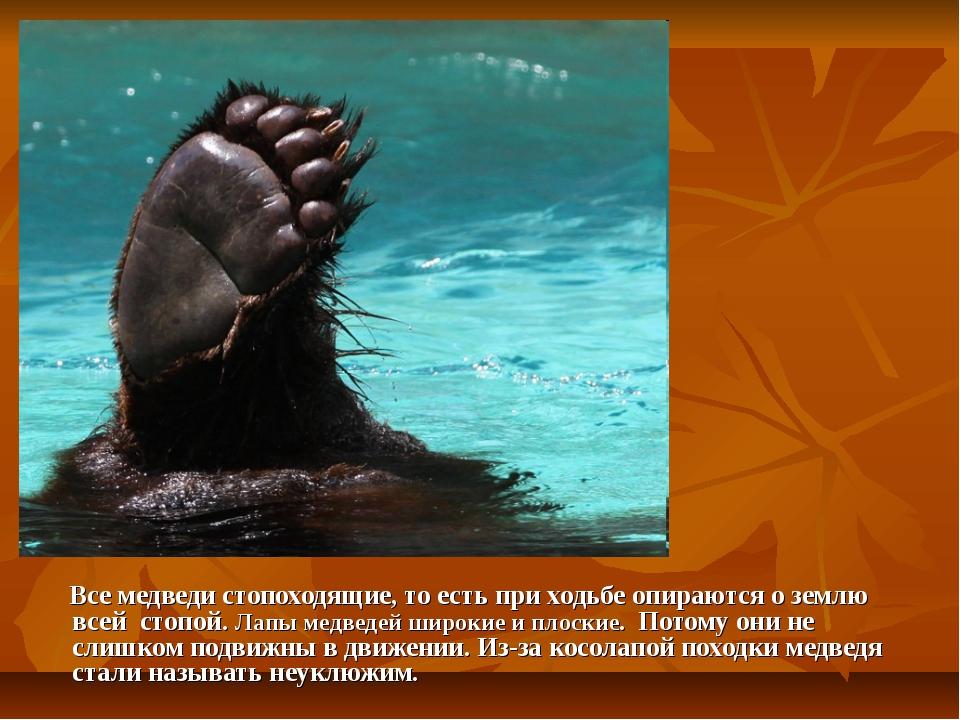 Все медведи стопоходящие, то есть при ходьбе опираются о землю всей стопой....