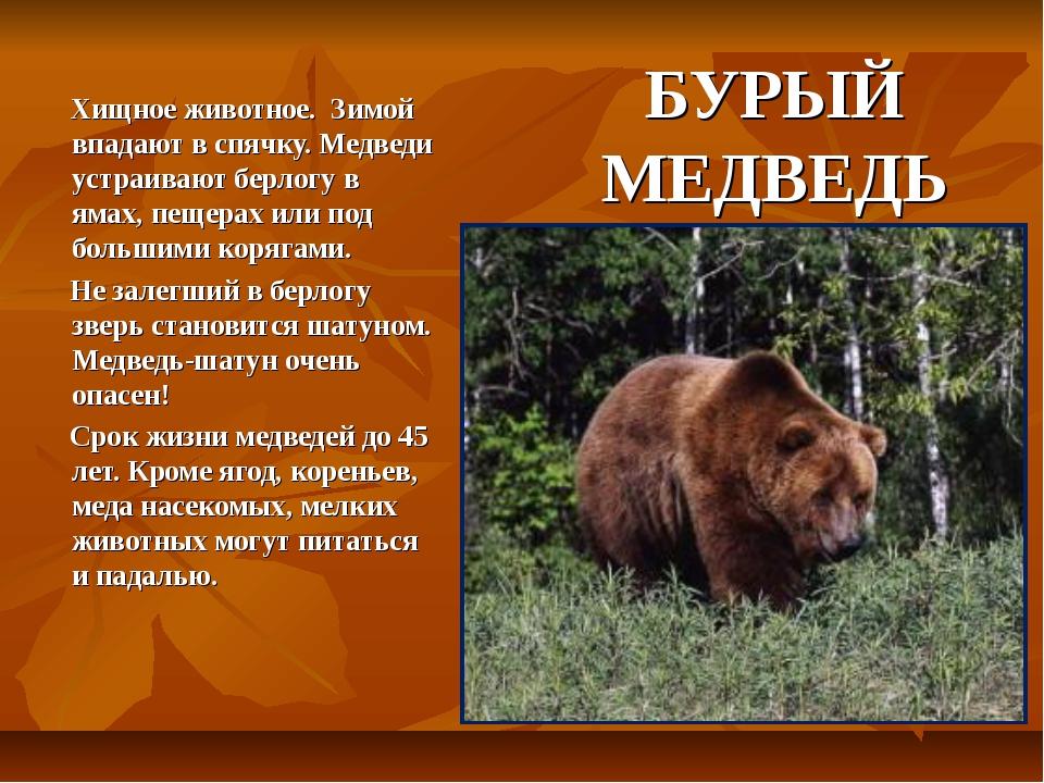 БУРЫЙ МЕДВЕДЬ Хищное животное. Зимой впадают в спячку. Медведи устраивают бер...