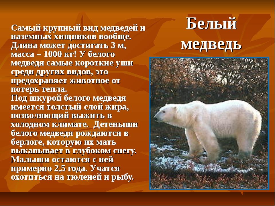 Белый медведь Самый крупный вид медведей и наземных хищников вообще. Длина мо...