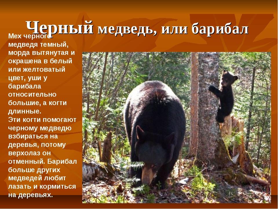 Черный медведь, или барибал Мех черного медведя темный, морда вытянутая и окр...