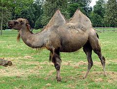 Айыр өркешті түйе, Camelus bactrianus
