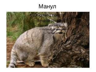 Манул