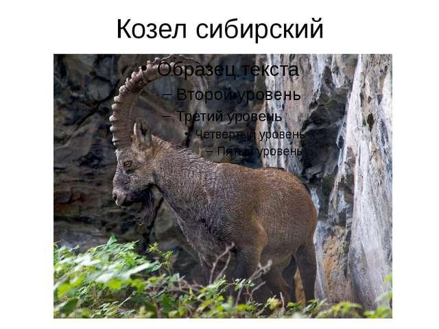 Козел сибирский