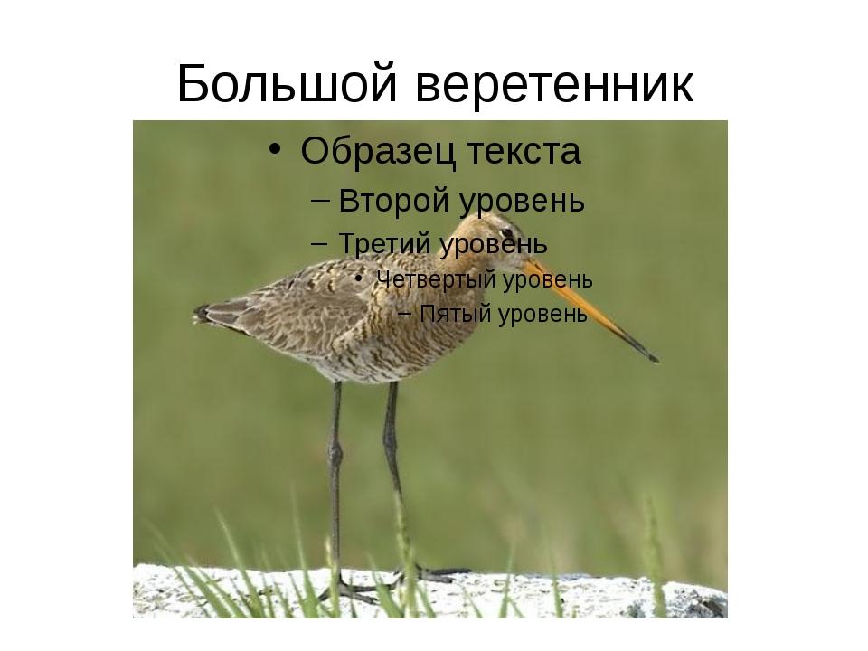 Большой веретенник