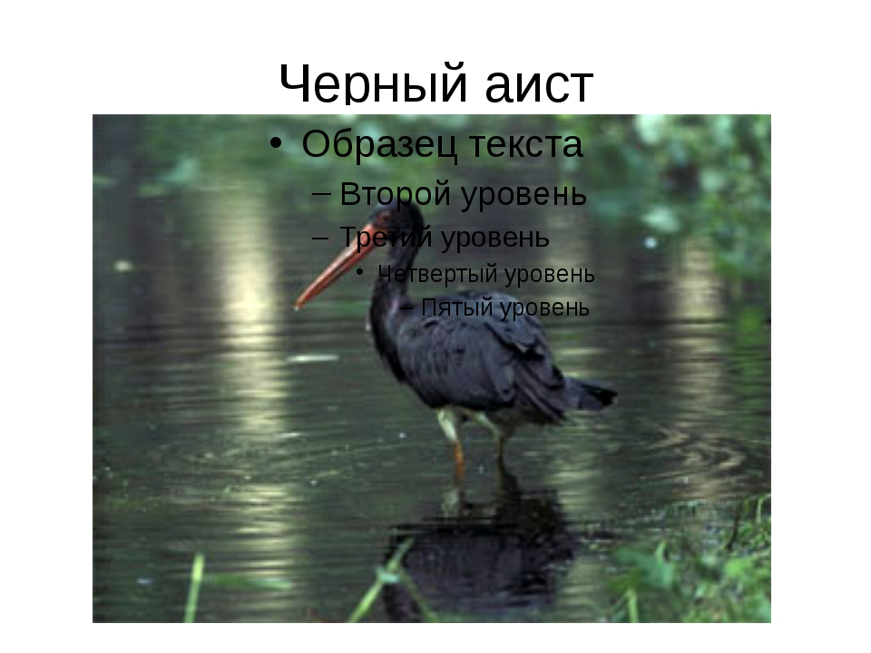 Черный аист