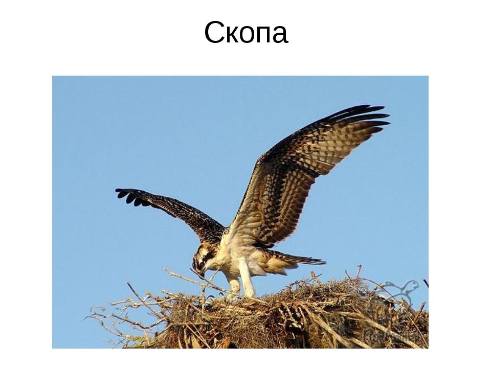 Скопа