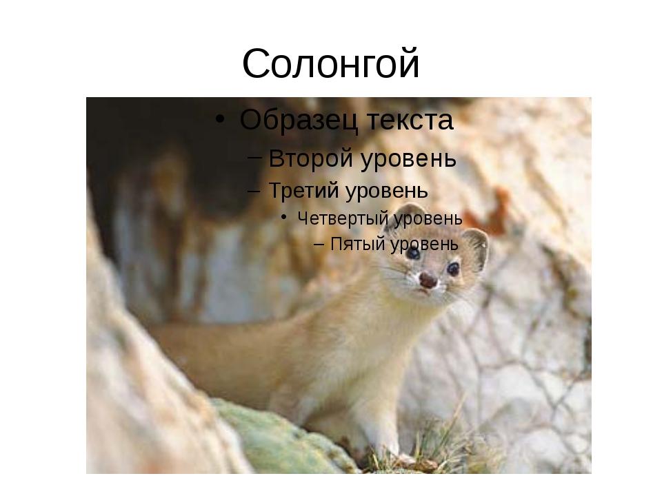 Солонгой