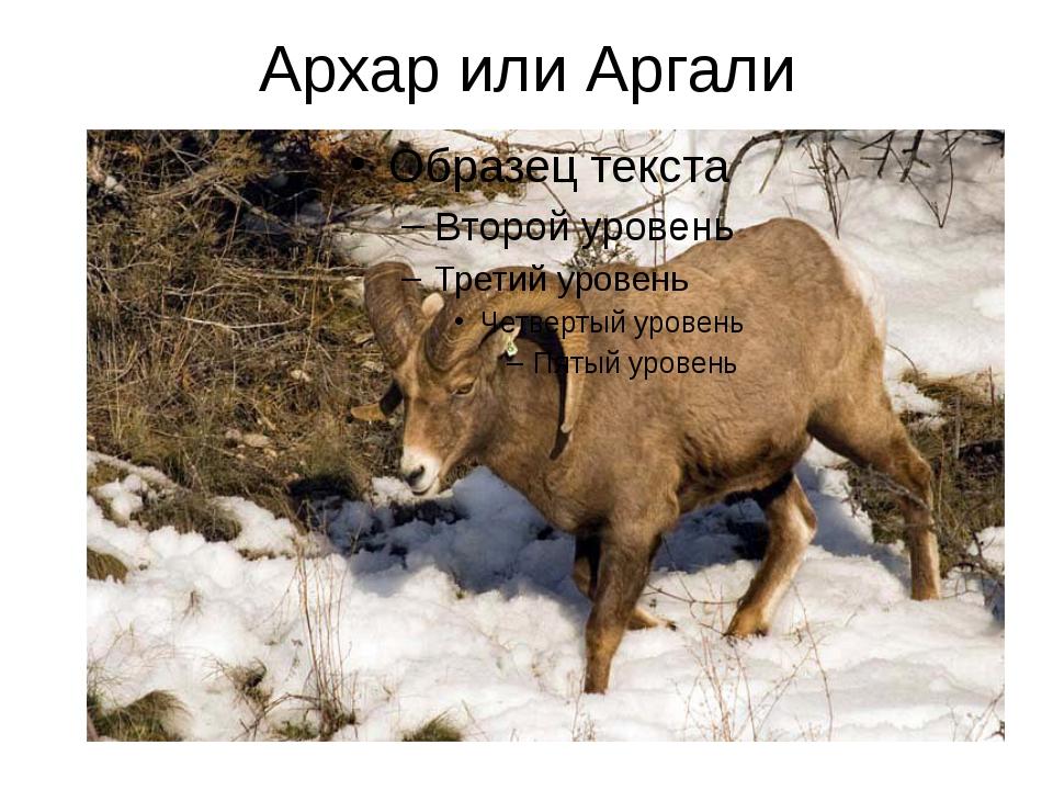 Архар или Аргали