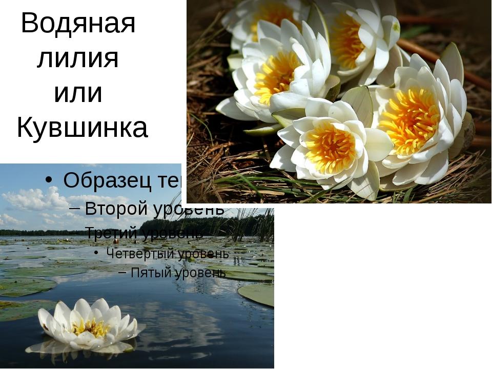 Водяная лилия или Кувшинка